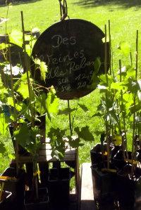 Weinrebe für den eigenen Garten als Geschenk - Wein Hicks